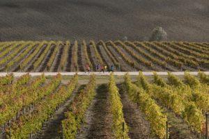 Sagrantino running - vigne