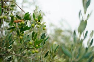 Olive-in
